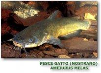 pesce_gatto_nostrano.jpg