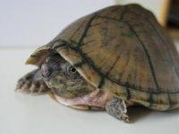 Sternotherus carinatus maschio 1.jpg
