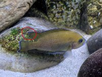 Variabilichromis1.jpg