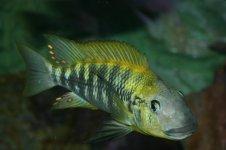 Petrochromis polyodon Moba.jpg